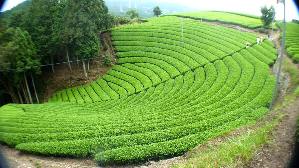 Plantación de té orgánico