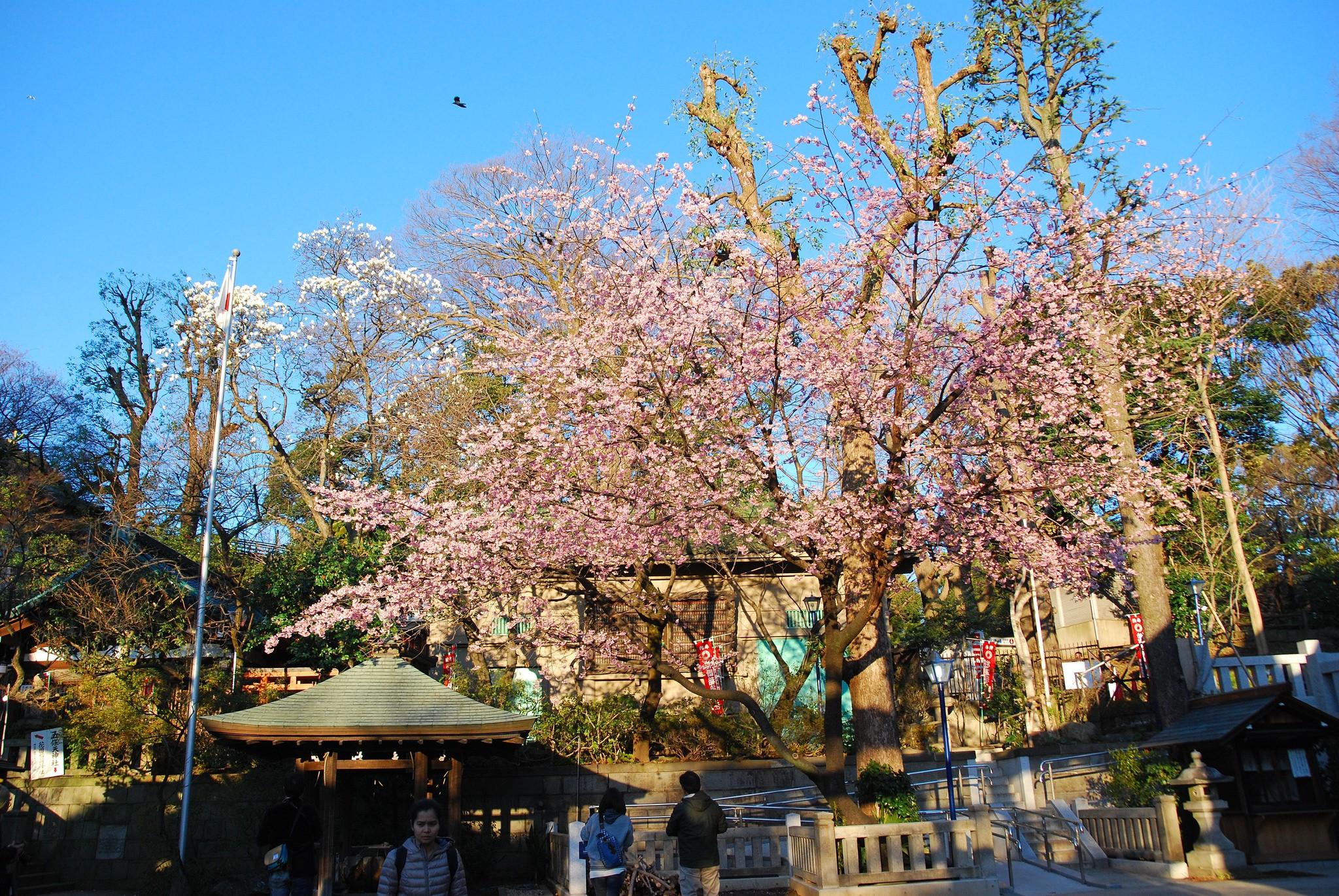 Sakura en flor en el Parque Ueno