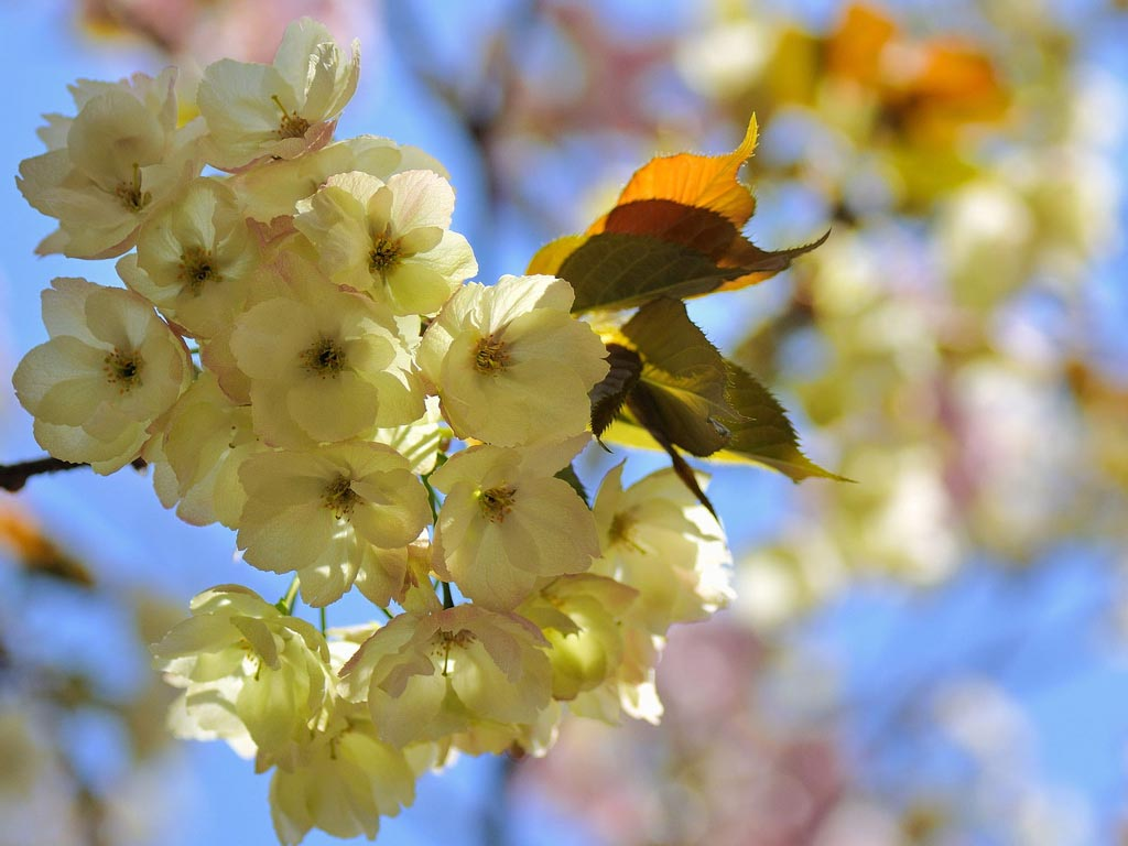 Flores amarillas. Variedad Ukon. Foto de Akira