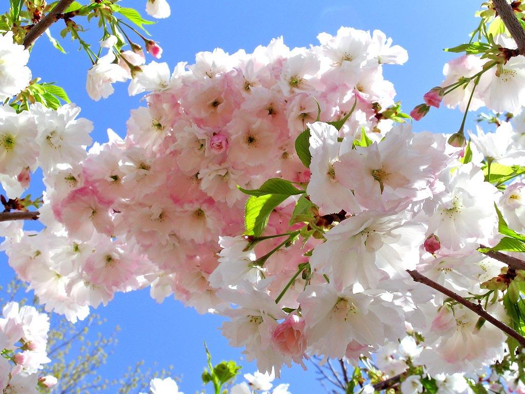 Flores blancas con toques rosados. Variedad Shogetsu. Foto de T Sea