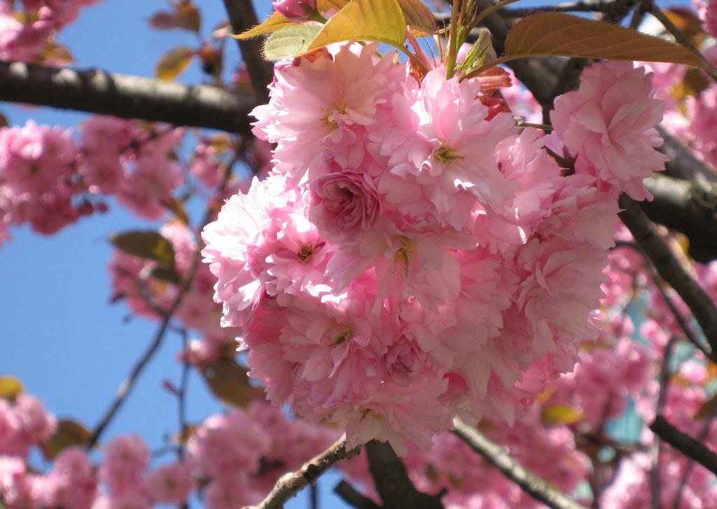 variedades de sakura jap n entre amigos