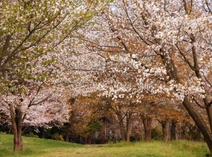 Yamazakura. Foto de autan