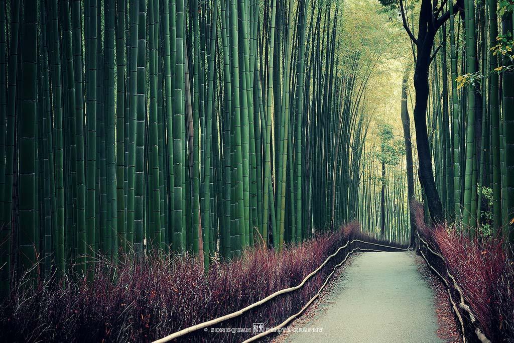 Bamboo Grove. Foto de Songquan Deng