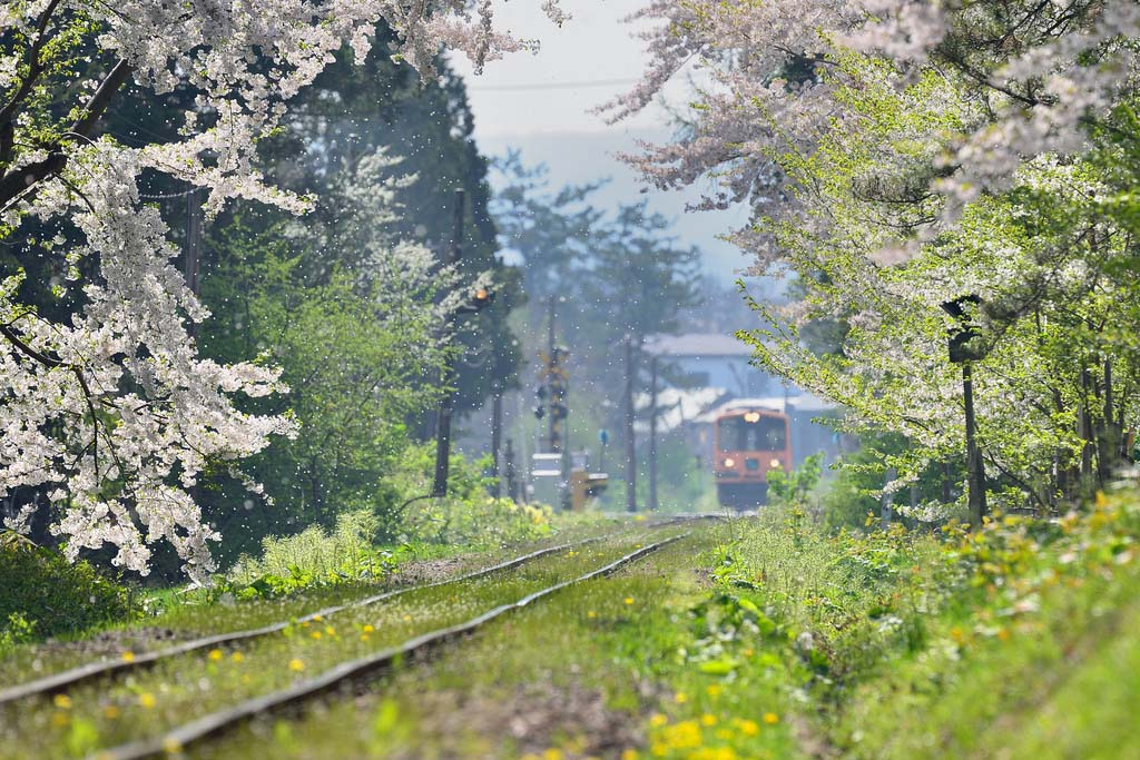Sakura. Foto de Sho Shibata
