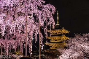 Cherry Blossoms and the five-storied pagoda. Foto de saito0923