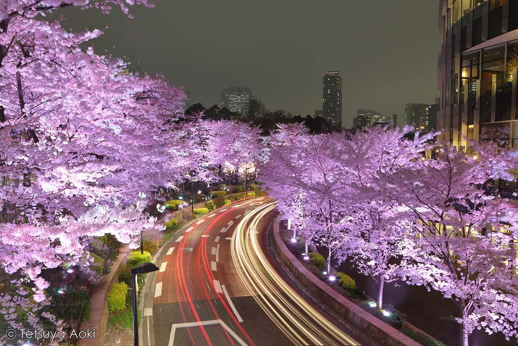 Illuminated cherry blossom trees at Tokyo Midtown. Foto de Tetsuka Aoki
