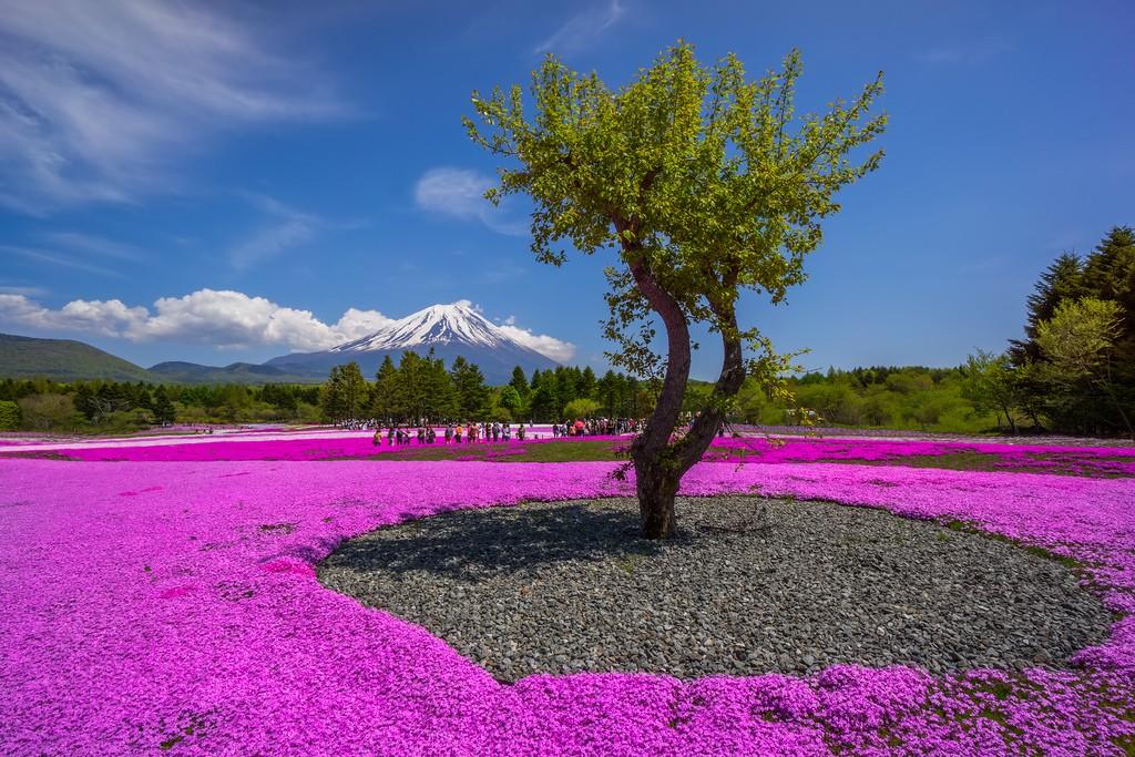 Fuji Shibazakura Matsuri. Foto de DJ Villanueva