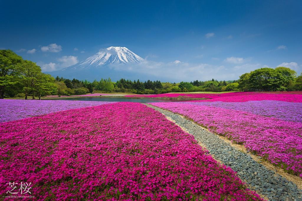 Fuji Shibazakura Matsuri. Foto de Jiratto