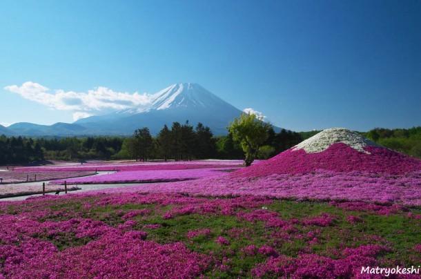 Fuji Shibazakura Matsuri. Foto de Matryokeshi Chan