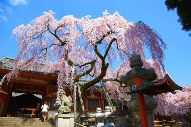 Sakura Blossom. Foto de T Amara
