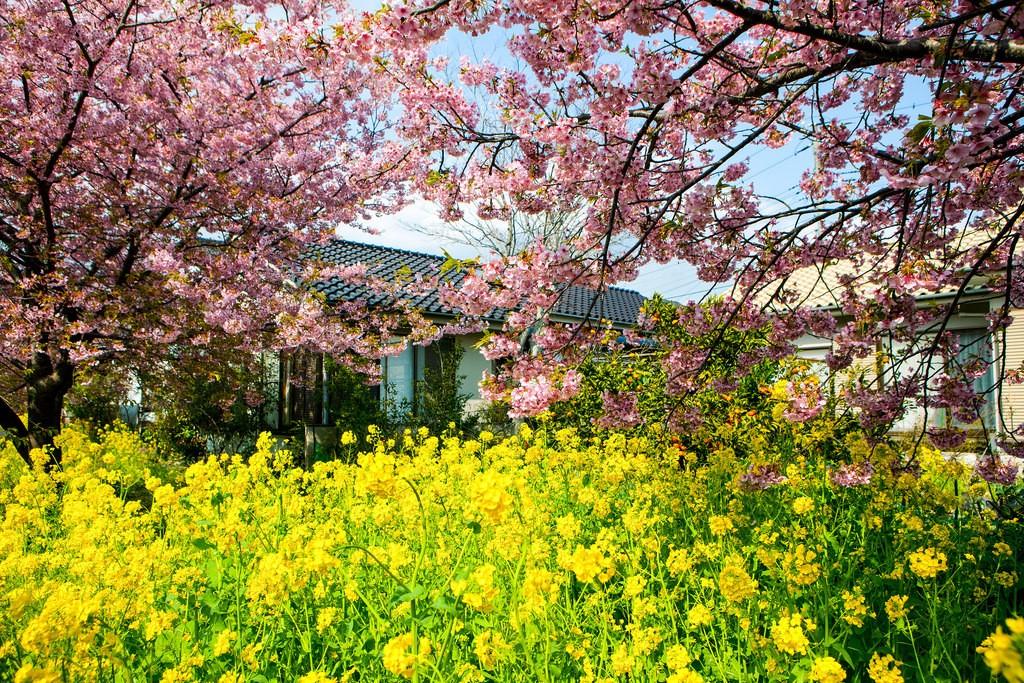 Sakura - Foto de J.G. Wang