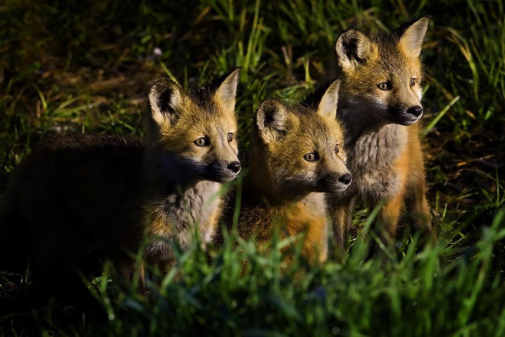 Cachorros de zorro. Foto de Jeremy Weber