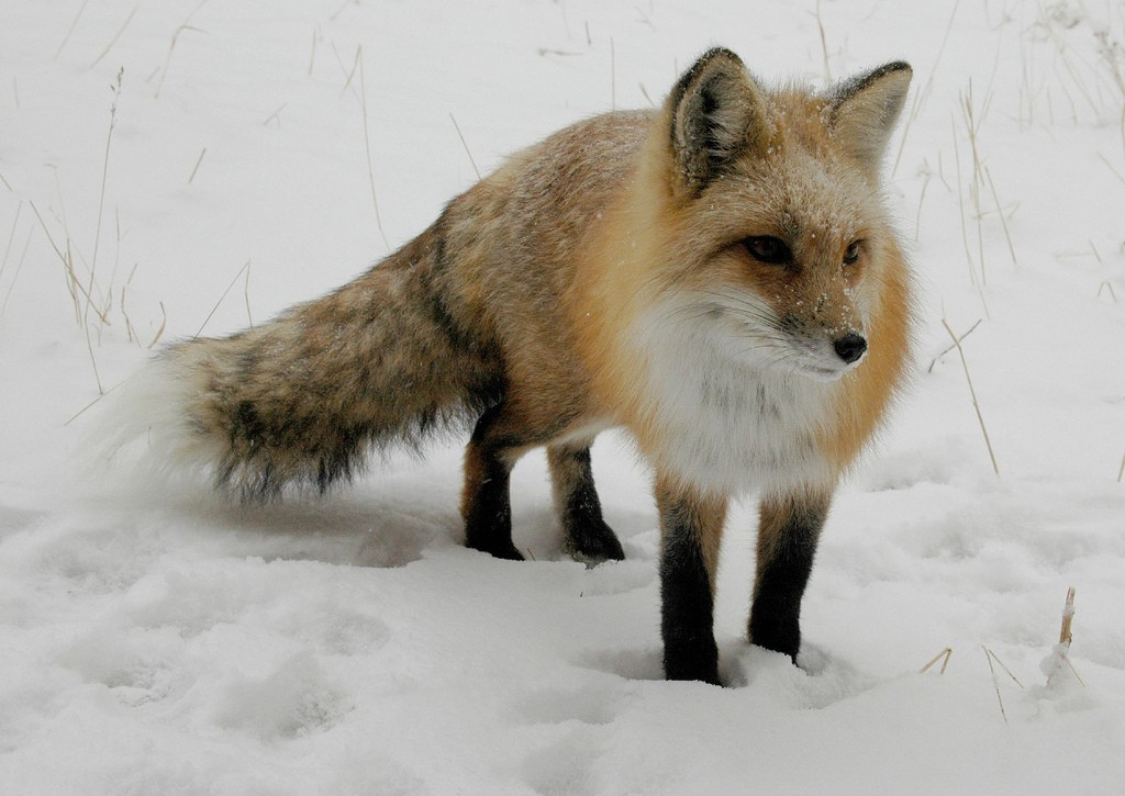 Zorro en la nieve. Foto de Rob Lee