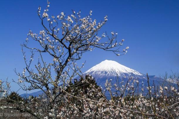 富士と白梅. Foto de Shinichiro Saka