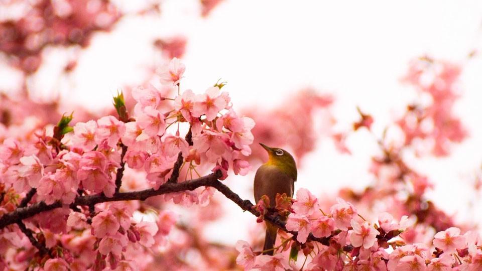 大寒桜とメジロ. Foto de Hirarin