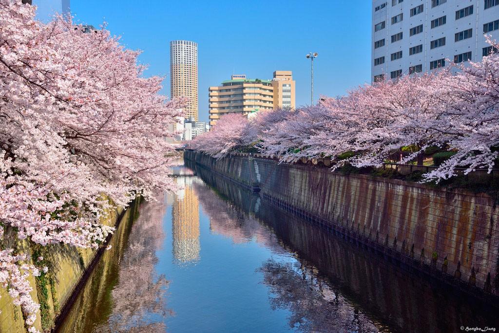 Sakura. Foto de Maple