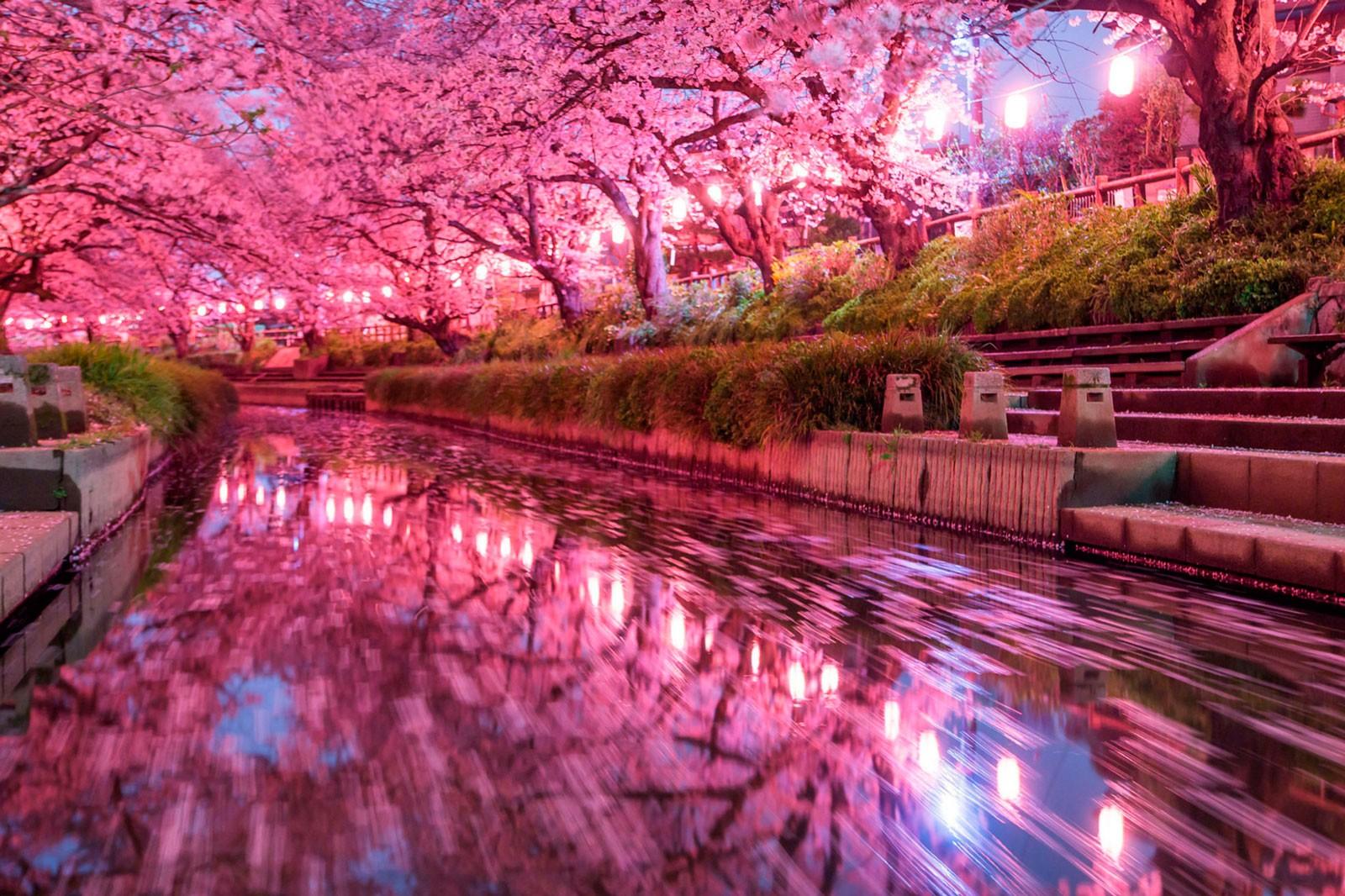 Cherry blossoms space. Foto de Wild Cat